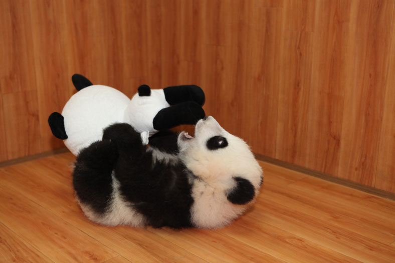 A baby panda plays with toys at China Conservation and Research Centre for the Giant Panda