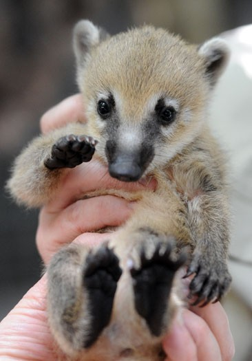 A coati kitten visits the vet at Melbourne Zoo