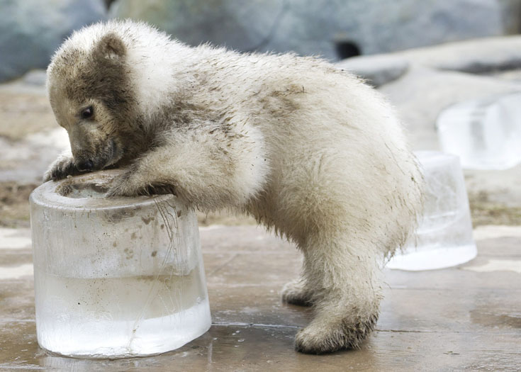 A three-month-old polar bear cub playing at Toronto Zoo