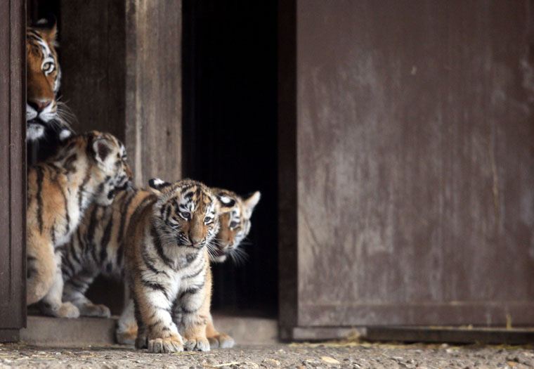Tiger cubs Jegor, Mila and Finja, with their mother Hanya