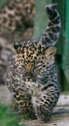 Argun, a two-week-old Amur leopard cub
