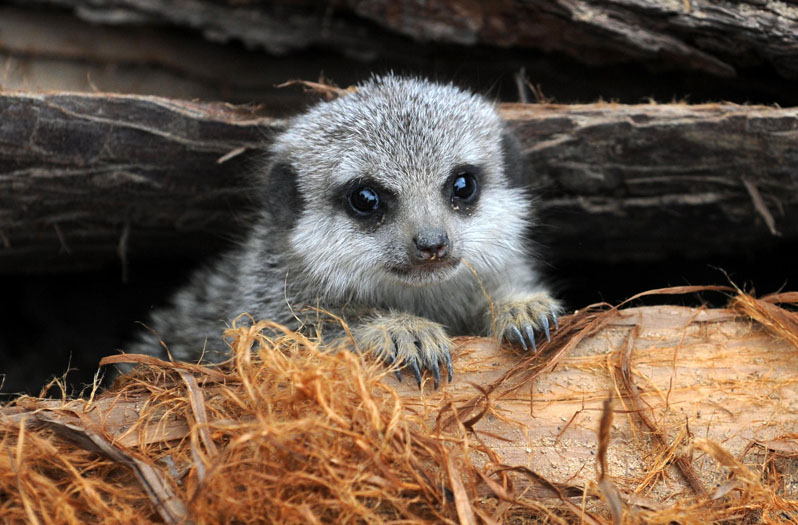 A one month old meerkat peeping out at London Zoo