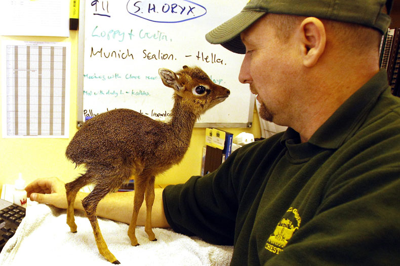 Baby dik dik antelope with Chester Zoo curator of mammals, Tim Rowlands