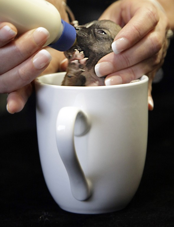 WATCH: The TINIEST puppy in the world fits in a coffee cup!