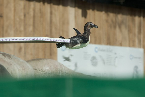 Cute animal watch: Small penguins try out their new diving board!
