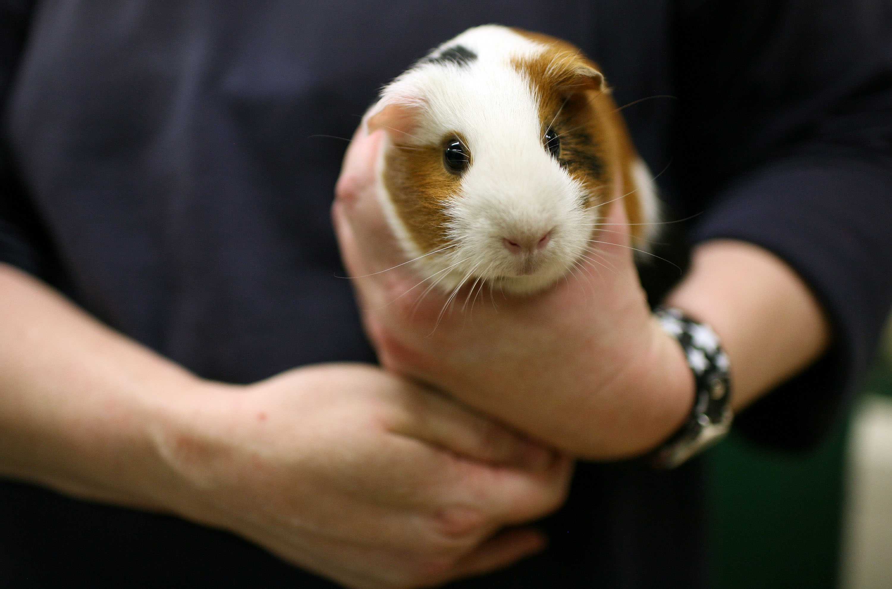 Guinea pig