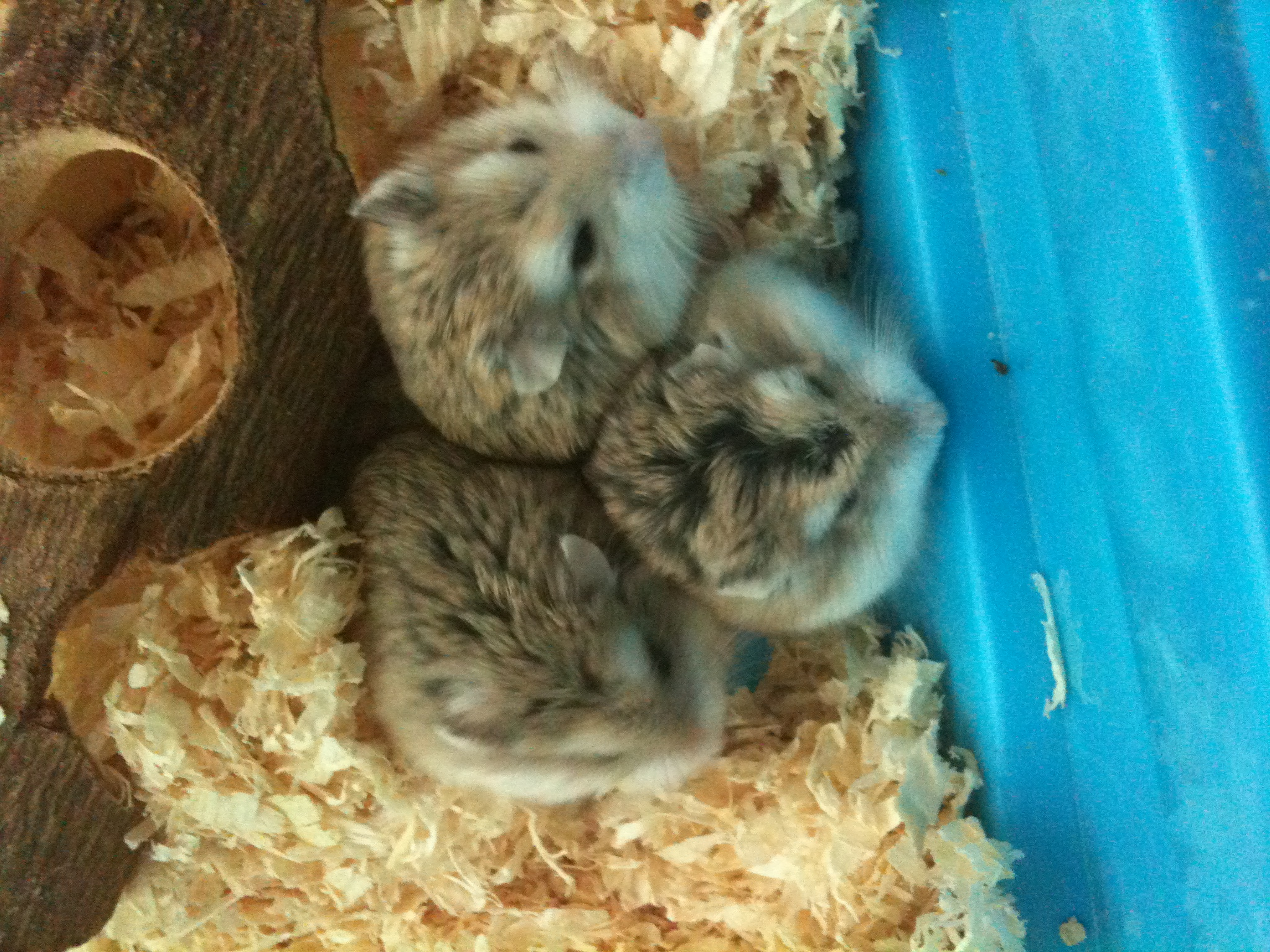 Hamsters : Long Haired Syrian Hamster Images | Crazy Gallery