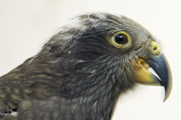 Children shocked as 12-year-old classmate kills rare Kea parrot on school trip