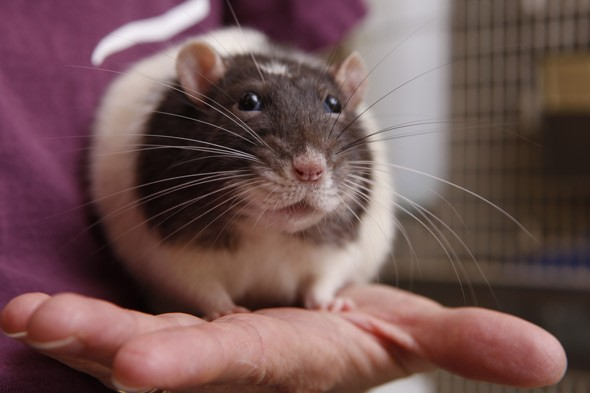 Kids with pets are cleverer - especially RAT owners, says study
