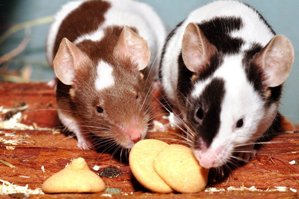 Study finds babies learn to suck via smell - whether mouse or human