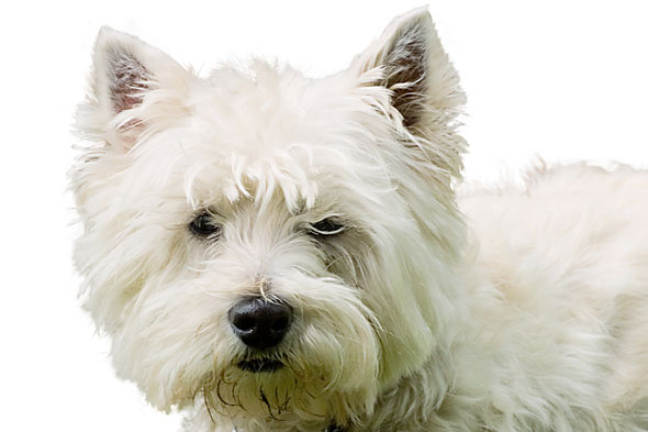 Court hears little girl was lucky not to lose an eye after Westie attack