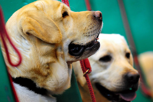 Girl of four reportedly attacked by a Labrador outside a supermarket
