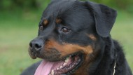 Child rescued after being left home alone with Rottweiler