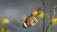 Seven tips for a butterfly friendly garden