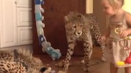 'They're just pussycats!' Toddler brother and sister who have CHEETAHS for pets