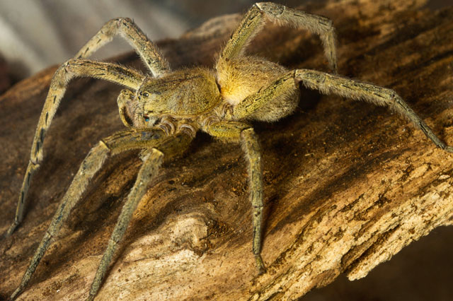 Family fled home after world's deadliest spiders hatched out of Sainsbury's bananas