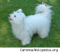 A Happy Coton de Tulear dog