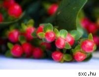 holly, toxic plants, mistletoe, poisonous holiday plants, dangerous greenery