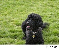 A Portuguese Water Dog, the breed the First Family has selected