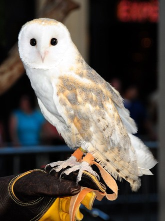pet owl picture