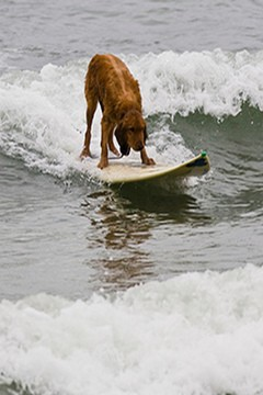 Dog surfing picture