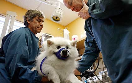 pomerian dog at the vet picture