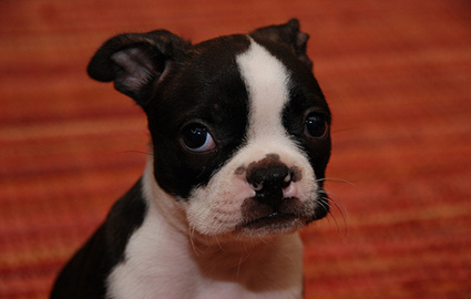 Boston Terrier Puppies on Boston Terrier Puppy Party    Pawnation