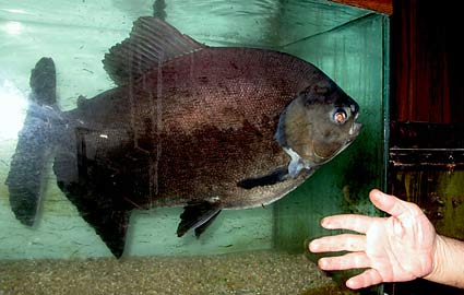 Buttkiss, the 41 Year Old Pacu fish picture