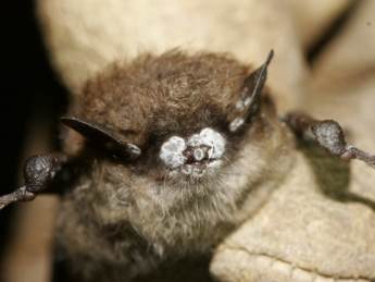Little brown bat with white nose syndrome picture