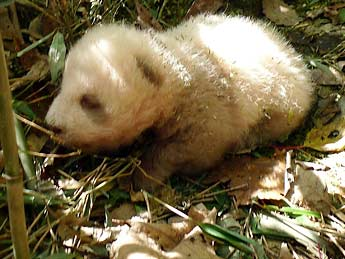 Brown Giant Panda cub picture
