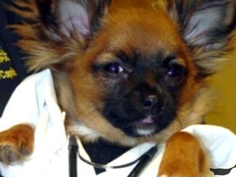 Dr. Papidies Chihuahua dog picture