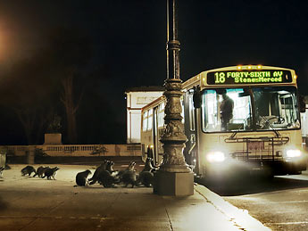 Racoons around a bus bay picture