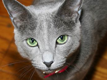 Russian Blue cat picture