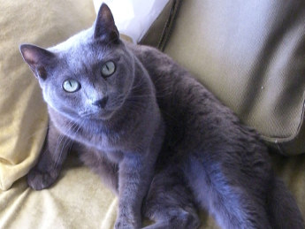 chartreux cats have long