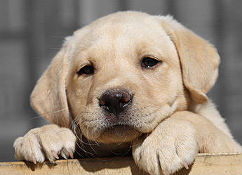 Cute Labrador puppy picture