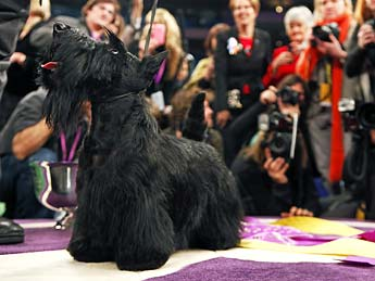 Sadie the Scottish Terrier dog picture