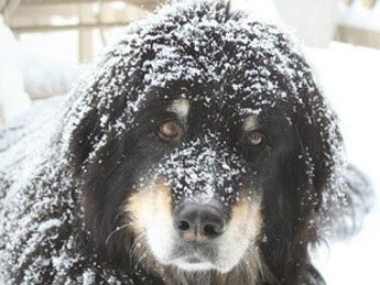 hero dogs - Bernese mountain mix dog picture