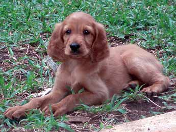 Irish Setter Puppies on Irish Setter Puppy Party    Pawnation