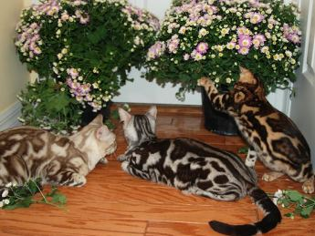 bengal cats picture