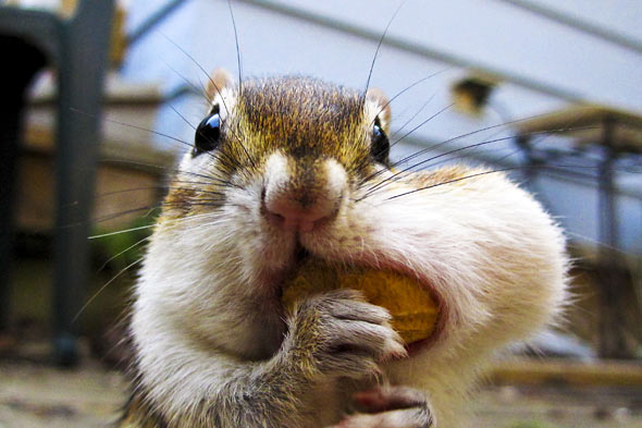 chipmunk picture