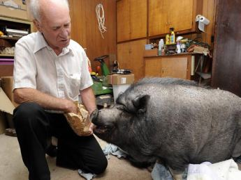 Arkansas pot bellied pig owner fights to keep his pet - Pot belly pigs as indoor pets ...