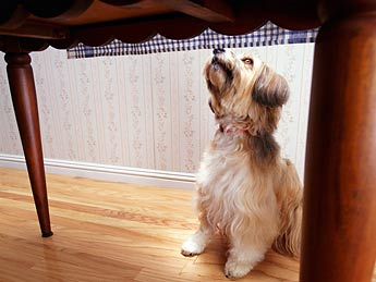 Dog begging at a table