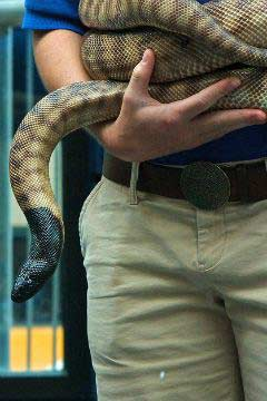 black headed python snake