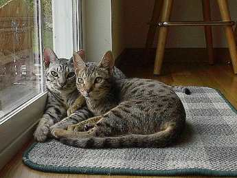 Filed under: Cats, Pet Adoption · courtneyBolton, Flickr. Cat Breed: Ocicat