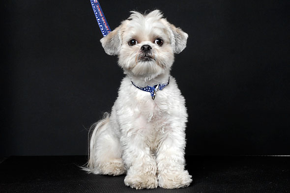 Related Pictures male shih tzu haircuts