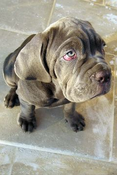 Neapolitan Mastiff Puppies on Neapolitan Mastiff Puppy Party    Pawnation