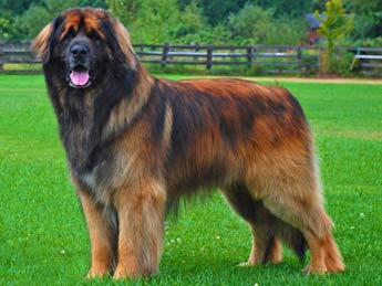 Leonberger dog picture