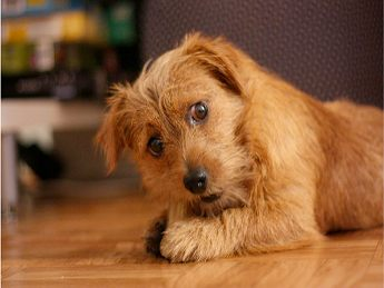 Norfolk Terrier Puppies on Norfolk Terrier Puppy Party    Pawnation