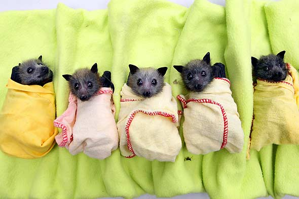 Australian flood victims include baby bats.