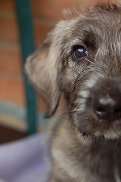 Irish Wolfhound Puppies on Irish Wolfhound Puppy Party    Pawnation